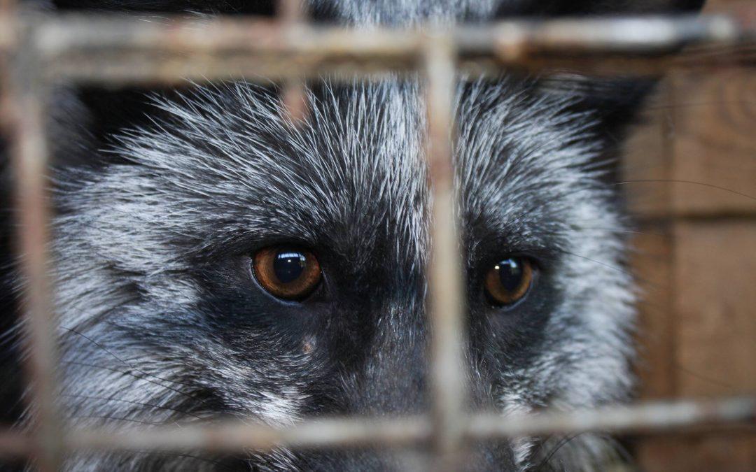 Raport na temat przemysłu  futrzarskiego w Polsce