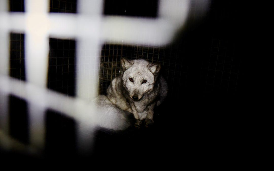 Nasze oświadczenie na temat deklaracji PiS w sprawie zakazu hodowli zwierząt na futro