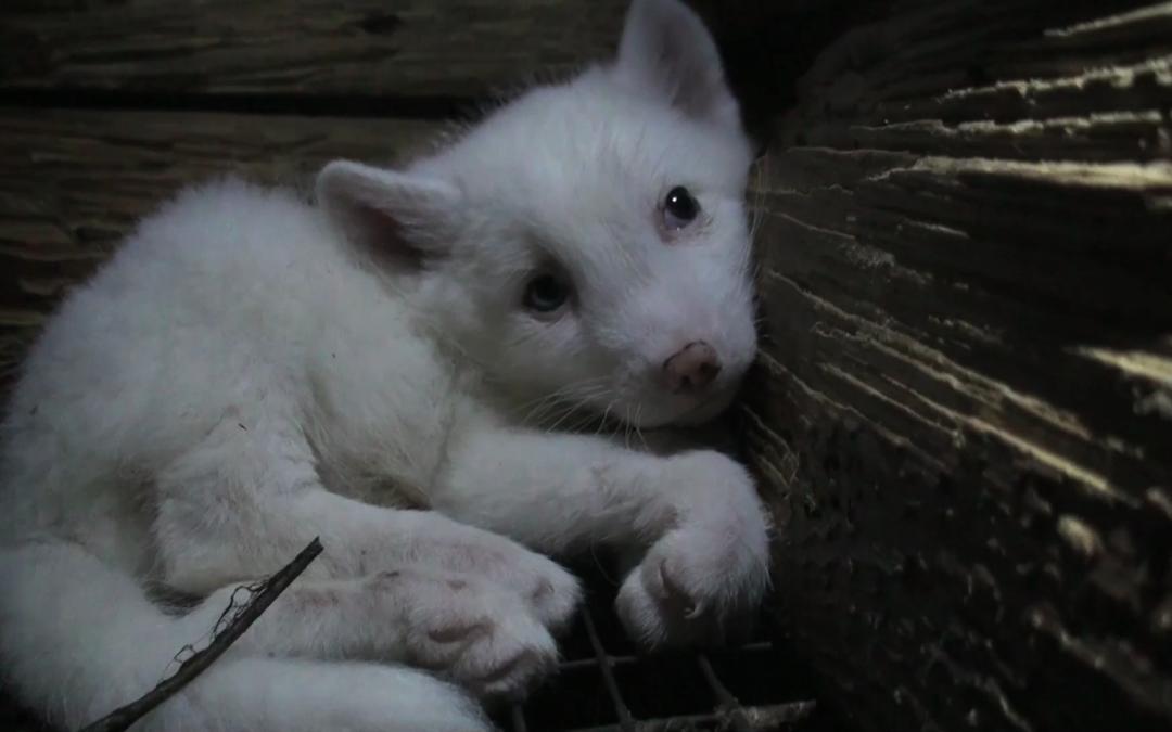 Projekt zakazu ferm futrzarskich w estońskim parlamencie